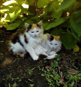 Трехцветные котята