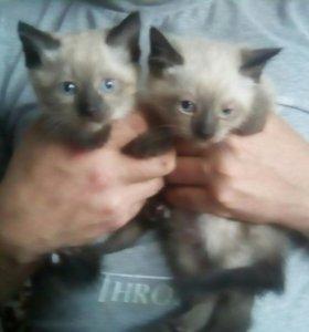 Котята сиамские