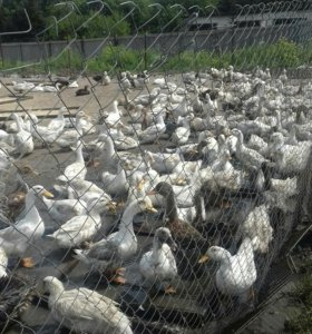 Утки на мясо и на подращивание