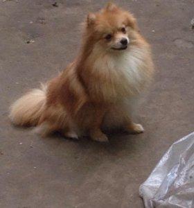 Шпиц померанский щенок
