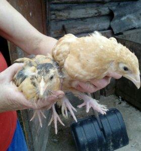 цыплята разного возраста