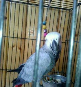 Продаю попугая красно хвостового жако