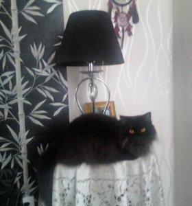 кошка смеси пород британской плюшевой и перса
