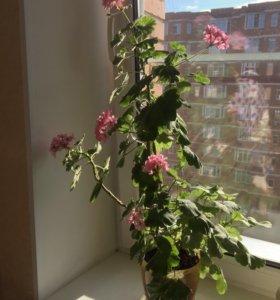Комнатное растение Герань розовый и красный