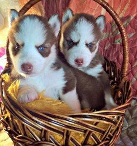 Шикарные щенки от красивой пары