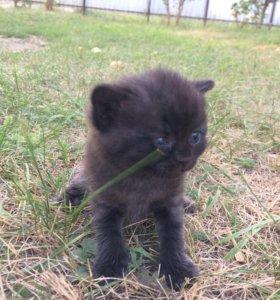 Отдаётся в добрые руки котёнок скоттиш-страйт