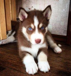 Хаски голубые глазки.