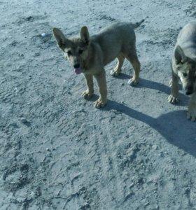 Щенки крупной собаки