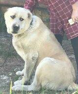 продаю собаку порода Алабай бойцовая