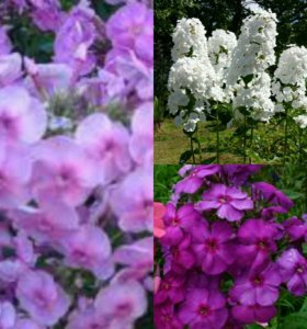 Флоксы, многолетние цветы.
