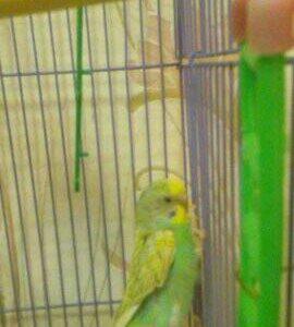 Продам попугаев