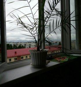 Пальма соченская.