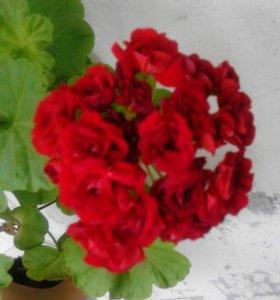 Пеларгония Red Rambler
