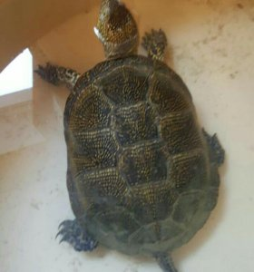 Водяная черепаха