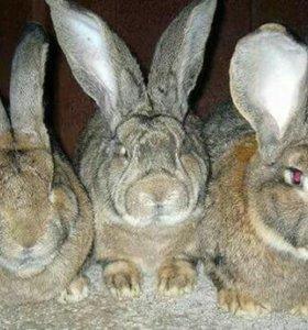 Продам Кроликов мясной породы  4 месяца
