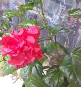 Цветы. Розалька