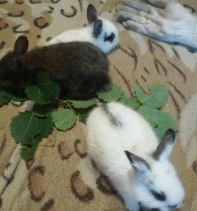 Кролики хохлатые