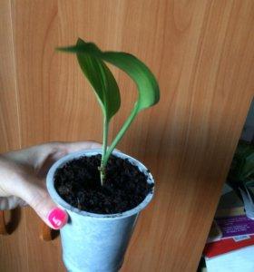 Эухарис ( Амазонская лилия)