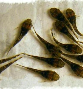 Сомик анцитрус
