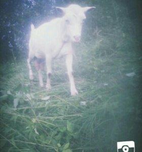 Козы заинские