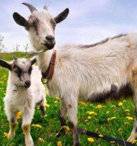 дойная коза и козленок 5 месяцев по 3000