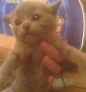 Продаются Шотландские Вислоухие котята .