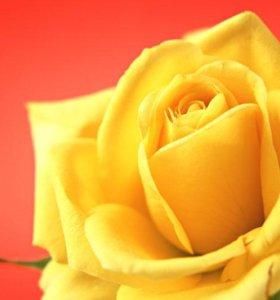 уральская роза саженцы в горшках