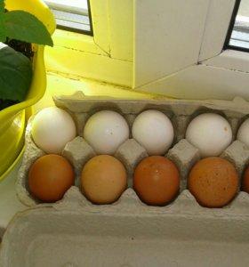 Домашнее яйцо куриное