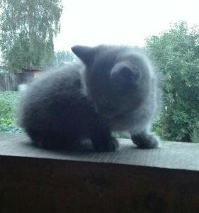 Котята,от персидской кошки.