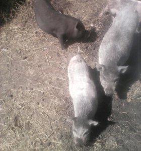 Продам молодых свинок