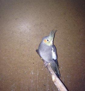 Средний попугай Карэлла