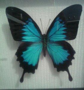Бабочка сувенир в рамке .торг уместен