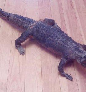 Чучело нильского крокодила
