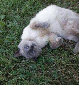 Сиамский кот бесплатно (2 года)