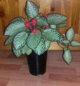 Эписция. Комнатные растения. Цветы