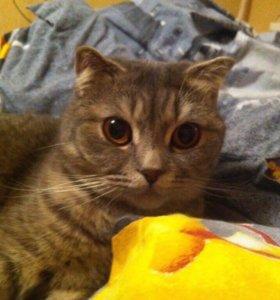 Кошка шотландка
