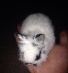 Кролики карликовой породы