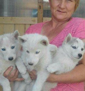 Сибирские хаски щенята