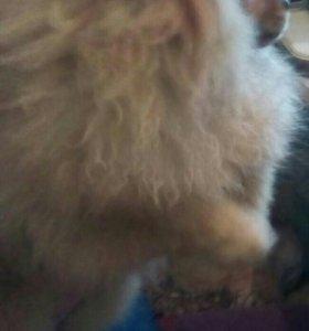 Цверк шпиц, щенок. 7 месяцев девочка