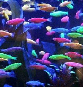 Данио(glo fish)