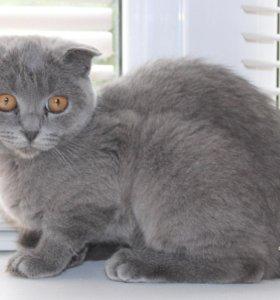 Дымчатая вислоухая котёнок-подросток Дарси