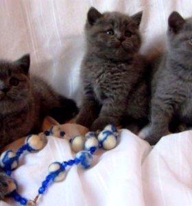 Голубые британские кошечки