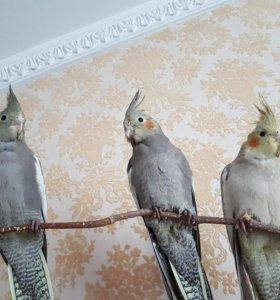 Птенцы попугаев корелл (2)