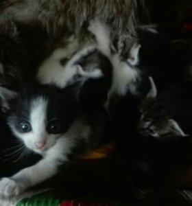 Котята от Сибирской кошки