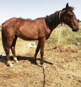 Лошадь кабардинка