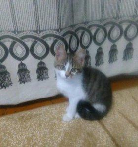 помесь британки котенок-девочка