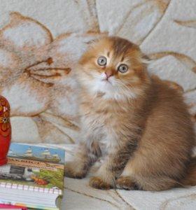 Кошечка хайленд-фолд.