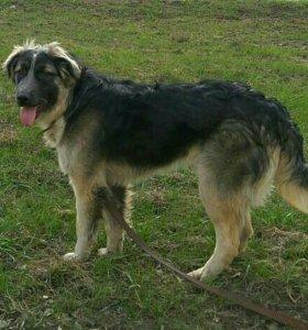 Пёс Геша (август 2016) из приюта