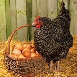 Яйцо домашних кур.