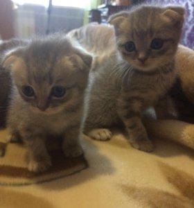 Продаю шотландских вислоухих котят и кошку